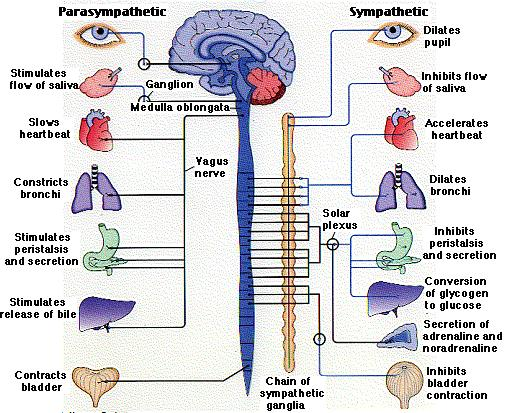 Vagus Nerve Diagram What The Vagus Nerve Does