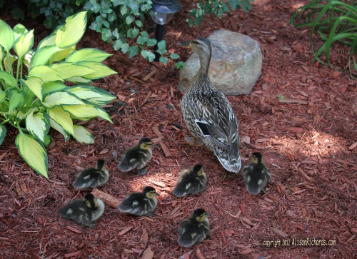 Mallard and her 7 ducklings